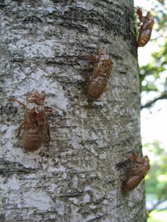 Cicada skins on tree