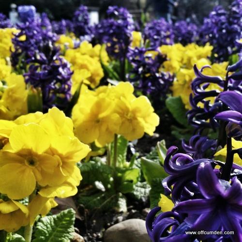 hyacinths in flowerbed
