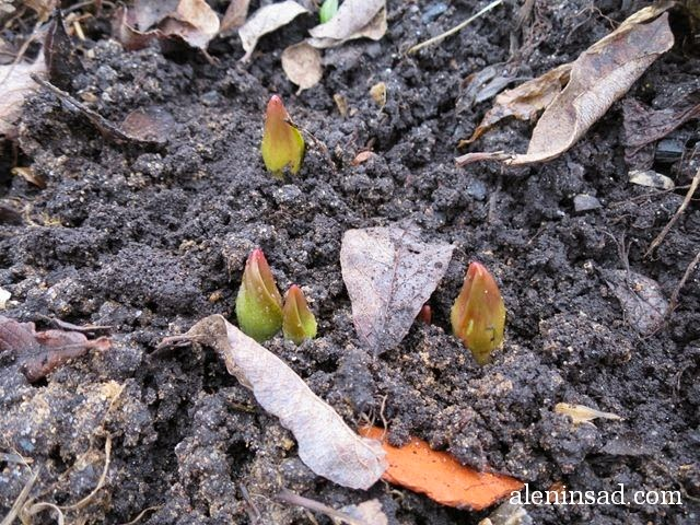 Tulipa gesneriana, тюльпаны, листья тюльпанов, ростки тюльпанов, аленин сад