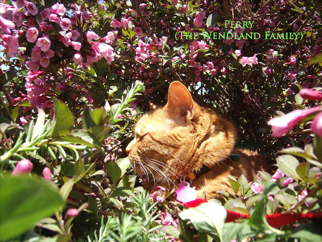 Orange cat in wiegelia bush with pink flowers