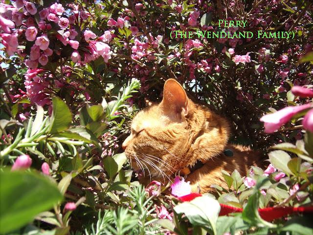 Orange cat in wiegelia bush with pink flowers