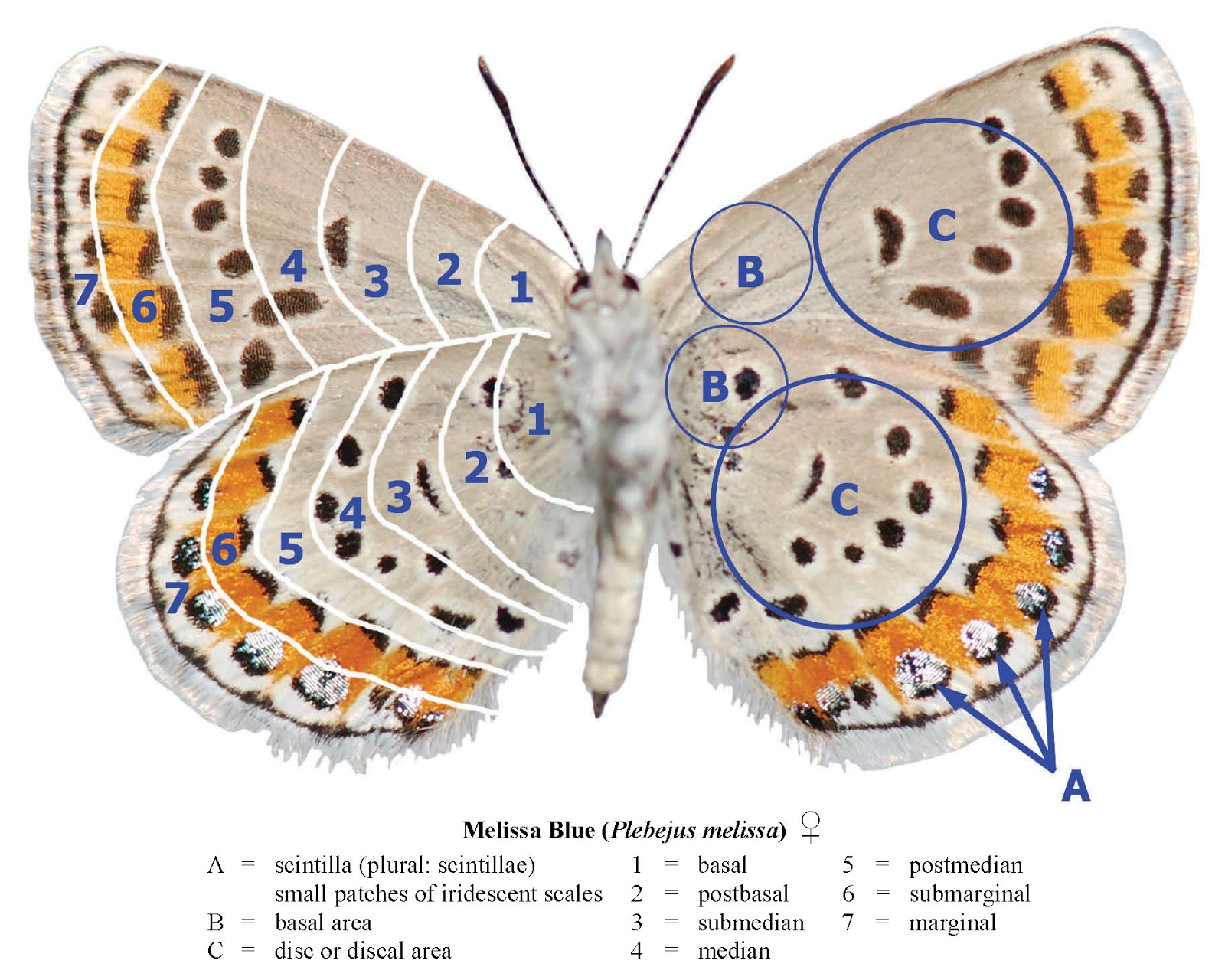 Northwest Butterflies: Wing Terminology
