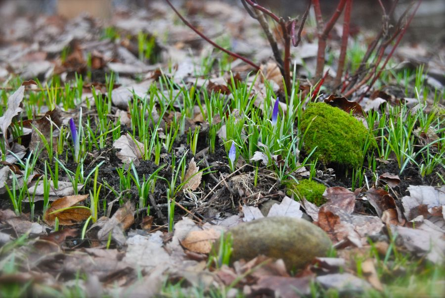 Crocus tomasinianus growing over one quarter of our back yard, which we call the Back Woodland.