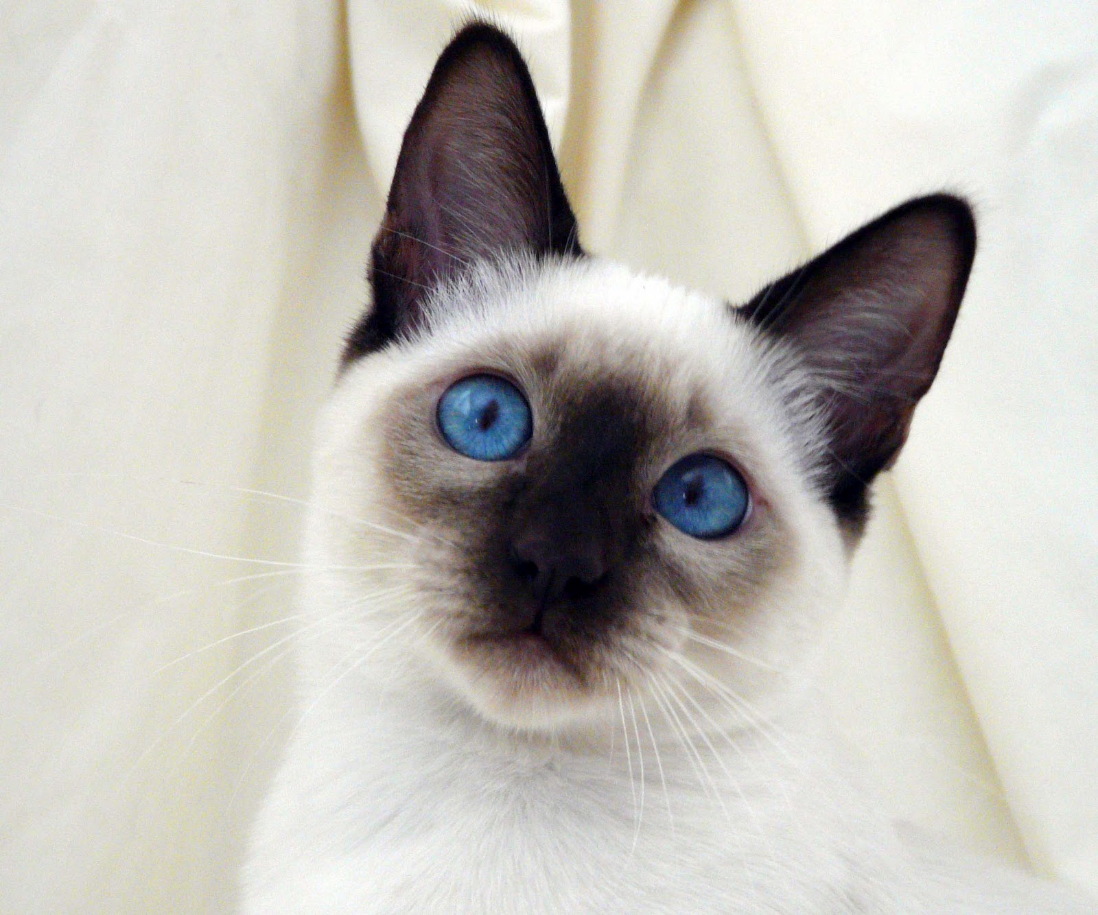 WATERFALL ROAD: SIAMESE KITTEN FINDING HER HOME