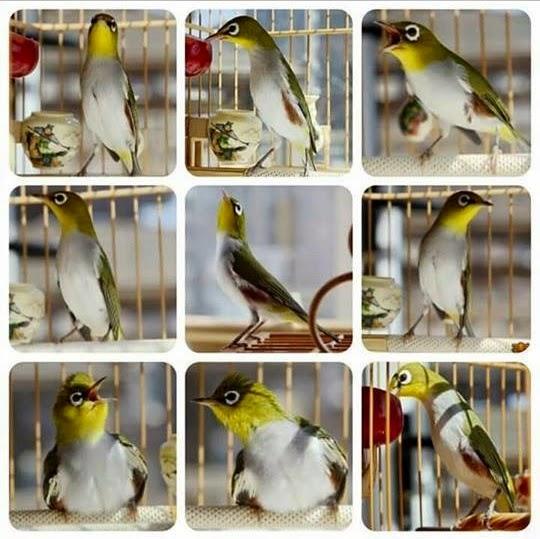 Burung Auriventer Gacor Ngalas Ngerol Nembak Josssss