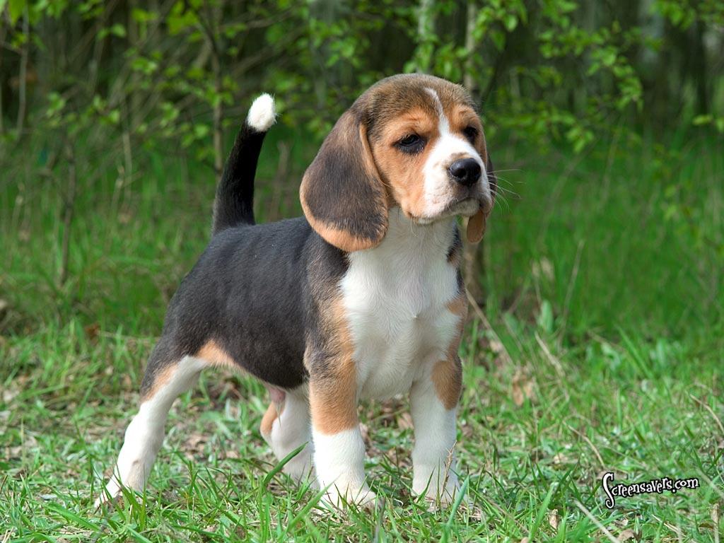 Beagle Dog/Puppy