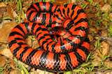 "The ""Mud Snake"""