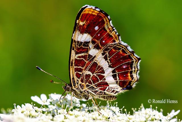 Schmetterlinge - Landkärtchen - Araschnia levana