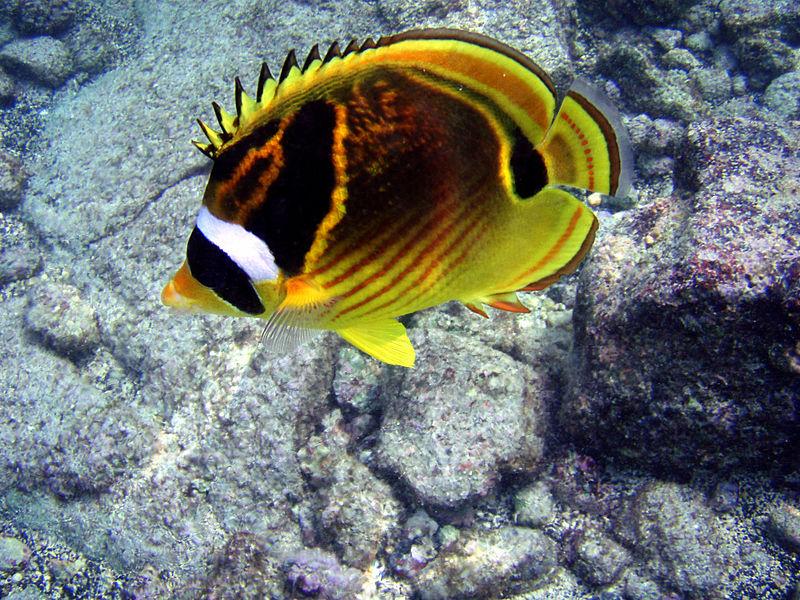 Ikan Kepe Kepe Berbagi