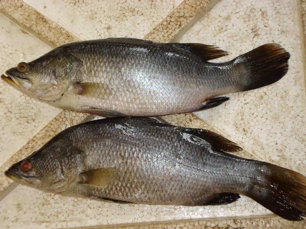 Ikan Kakap Putih Chile