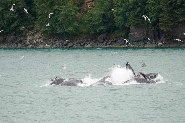 Humpback-whales-bubblenetting-Juneau-Alaska-Travel-The-East
