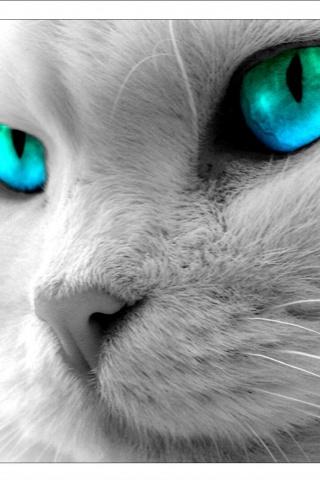 Russian Blue Cat Boston