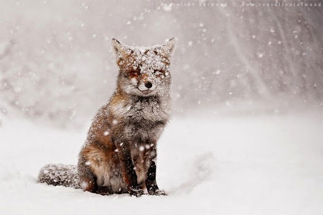 photos of foxes, fox pictures, red fox pic