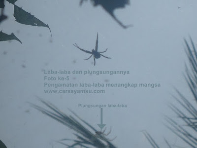Gambar laba-laba dan mangsanya