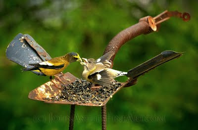 Adult male Evening Grosbeak (left) feeds his adult female mate the seeds that she is standing on (C) John Ashley