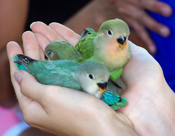 anak burung love bird