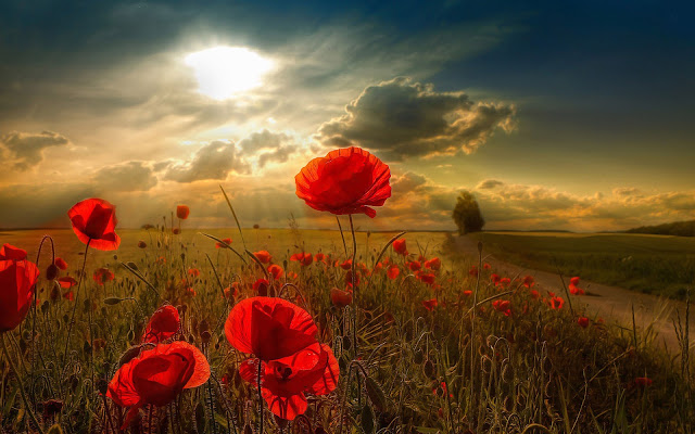 Red Poppy Flowers Picture