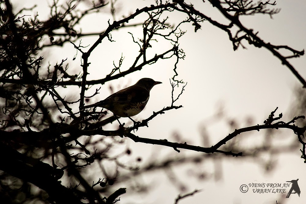 Fieldfare in Silhouette (the only decent photo of a thrush)