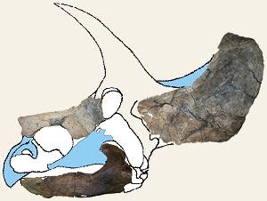 Ojoceratops skull