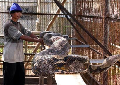 world s largest reticulated python snake in indonesian zoo guinness