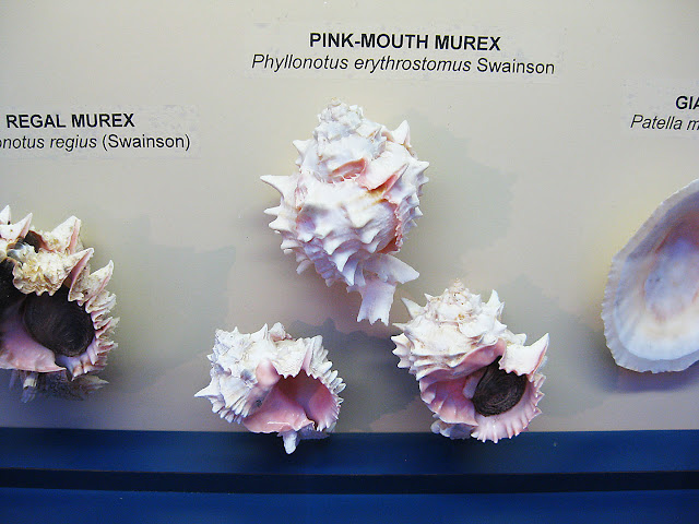South American Seashells Pink mouth murex