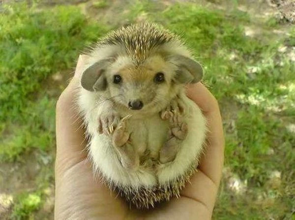 funny animal pics, animal photos, hedgehog with big ears