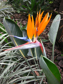 Wild birds of paradise growing at my apartment