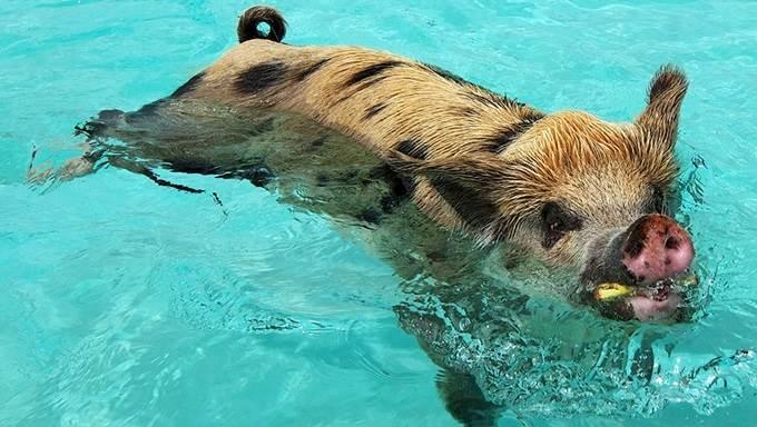 babi makan dalam air