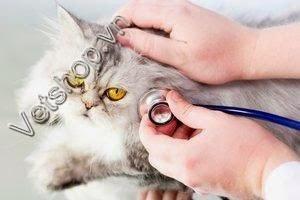 Bệnh Leukemia Trên Mèo