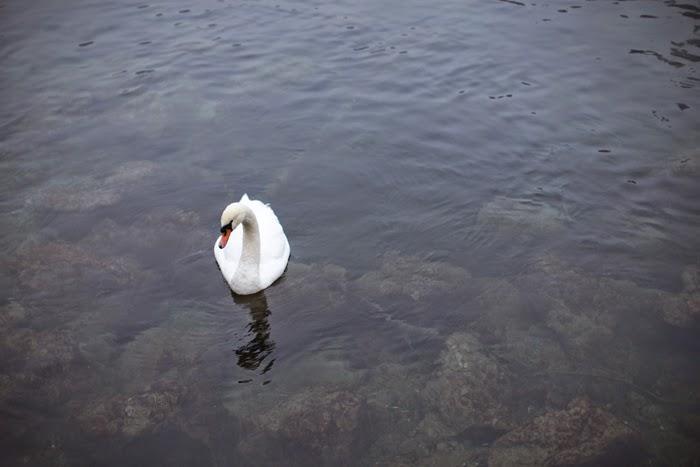 lucerne swan