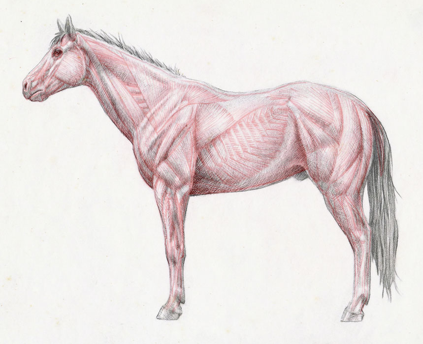 Horse Anatomy Study Drawn Today