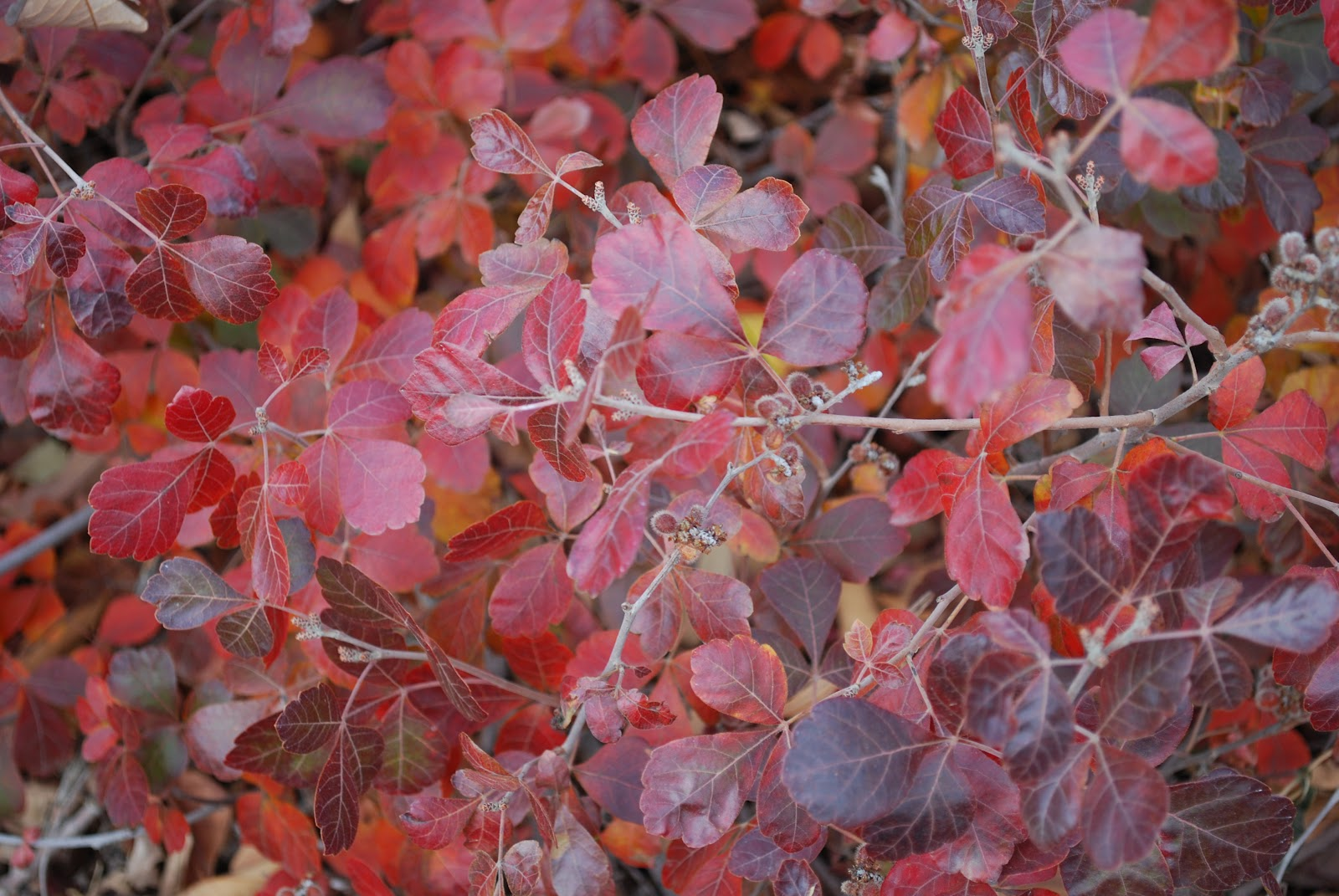 5 Shrubs For Fabulous Fall Color Garden Share Bristol