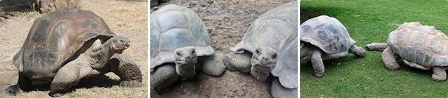 roban en Adeje dos tortugas gigantes, Tenerife