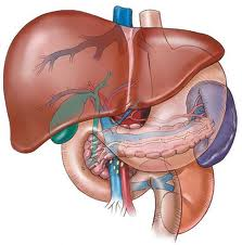 gross anatomy of the liver