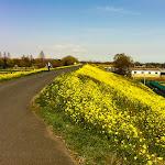 カラシナ咲くサイクリングロード