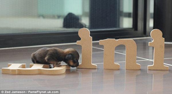 Anjing Terkecil di Inggris