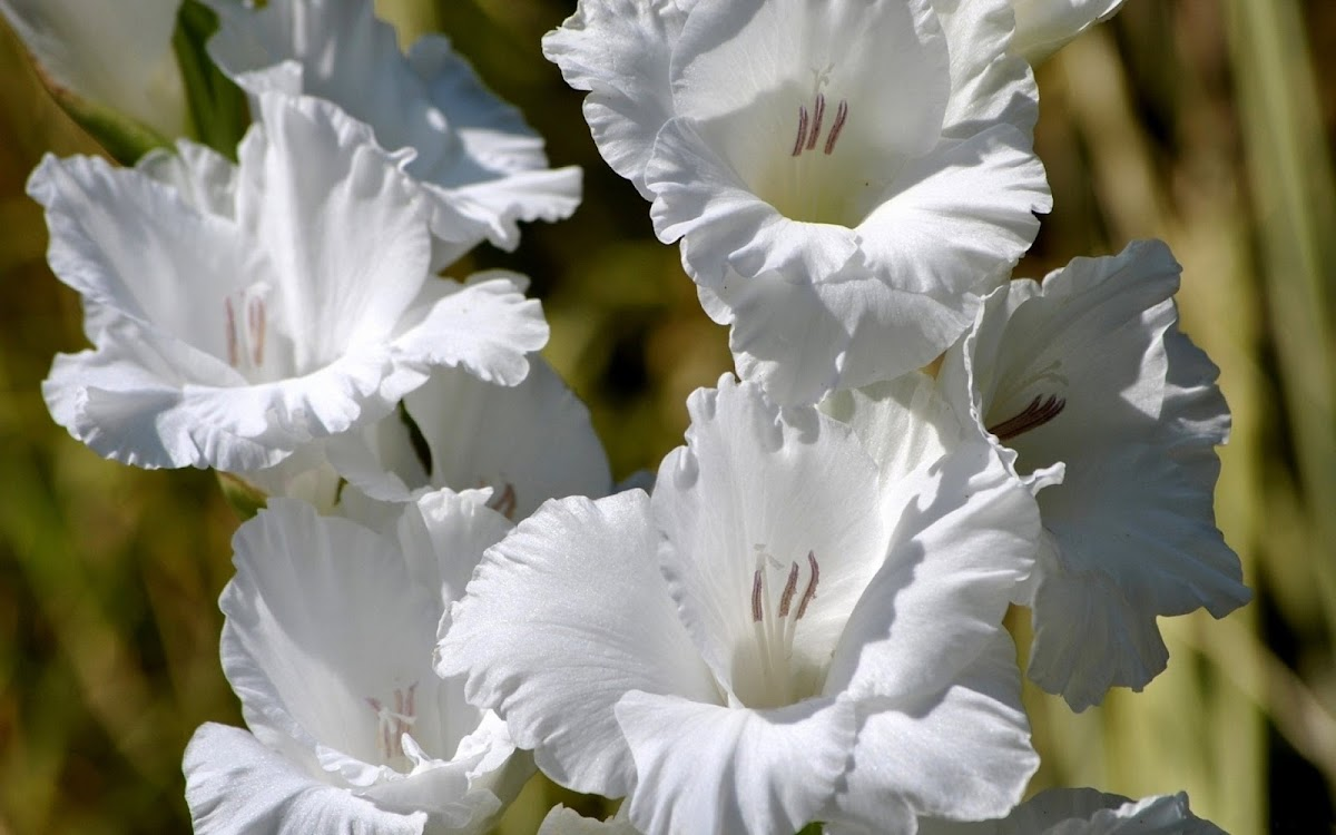 White Flowers Widescreen HD Wallpaper 9