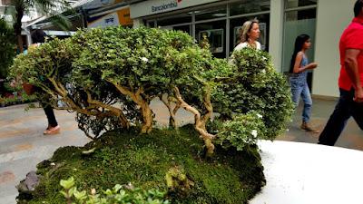 Troncos retorcidos de serissa bonsai
