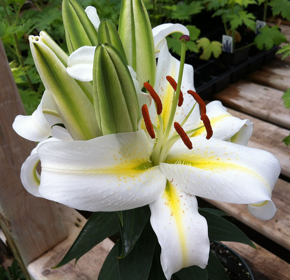 Bloomingwriter gardening in nova scotia theres lilies and then this is luzia a white oriental lily showing its cluster of buds arranged at the top of the plant some true lilies are dwarf and suited to growing in izmirmasajfo