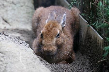 Touhoku Hare