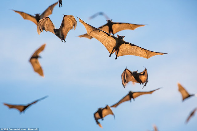 Spectacular scenes as eight million bats flock together in one of Africas largest mammal migrations (Photos)