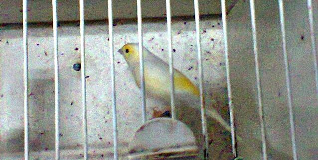 os meus canários amarelos machos