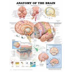Brain Anatomy Model3