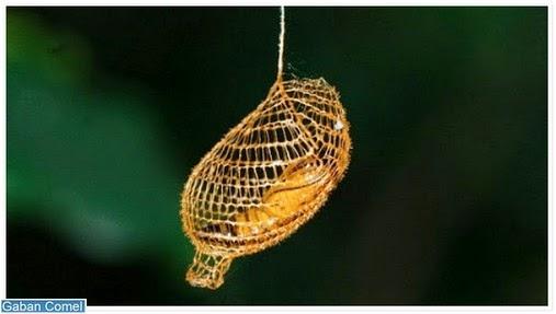 Kepompong Seperti Jala Berwarna Emas Yang Unik di Hutan Amazon