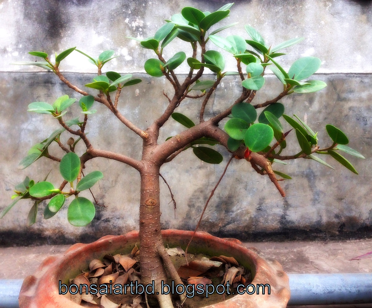 taille bonsai ficus