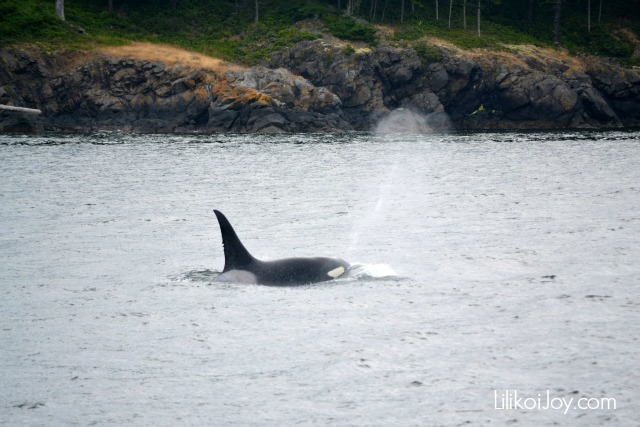 Orca Whale Watching in the San Juan Islands, Washington State