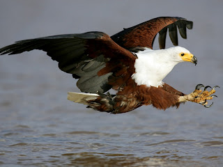 download african fish eagle