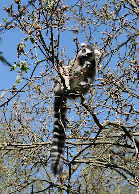 Ring-tailed lemur nomming