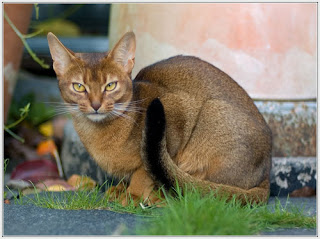 Abyssinian Picture