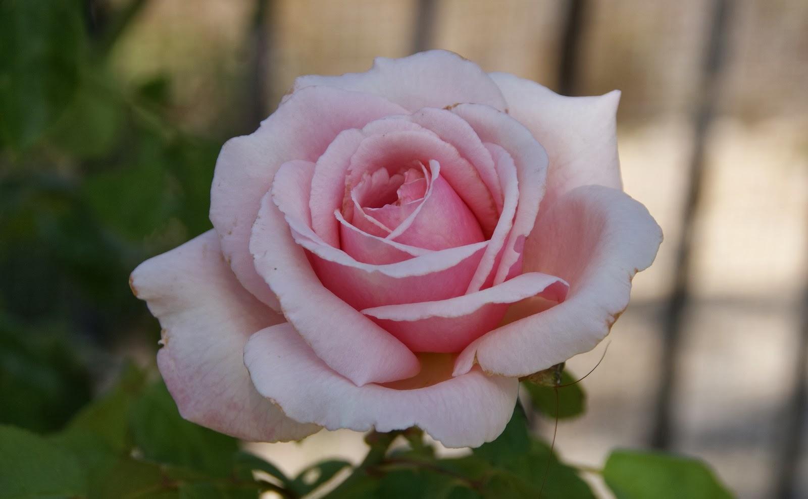organic garden dreams october roses. Black Bedroom Furniture Sets. Home Design Ideas